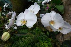Orkidén Royaltyfri Bild