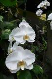 Orkidén Royaltyfri Foto