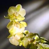 Orkidén blommar i mjuka gröna och vita toner royaltyfri foto