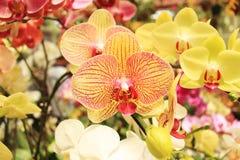 Orkidén blommar i växthuset Arkivfoto