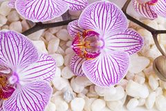 Orkidén blommar på salta stenar för badet, brunnsortstillebenbakgrund Royaltyfri Fotografi