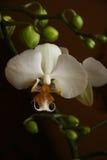 OrkidéPhalaenopsis Fotografering för Bildbyråer