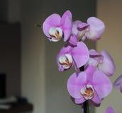 OrkidéPhalaenopsis, den exotiska malen för botanikkronbladphalaenopsis blommar på den suddiga bakgrunden Royaltyfria Foton
