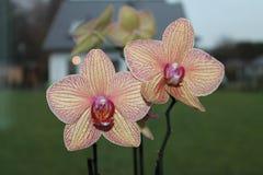 OrkidéPhalaenopsis, mal blommar på den suddiga bakgrunden Arkivfoto