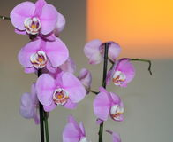 OrkidéPhalaenopsis, mal blommar på den suddiga bakgrunden Royaltyfri Fotografi
