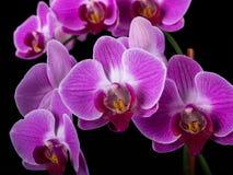 Orkidér Arkivfoto