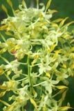Orkidér Royaltyfri Bild