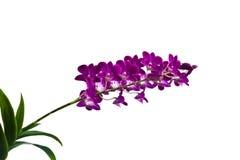 Orkidér Royaltyfri Foto