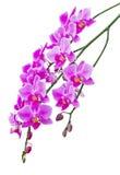 Orkidér Royaltyfri Fotografi