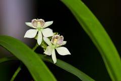 Orkidér av Belize Royaltyfria Foton