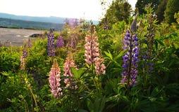 Orkidér av Norge Arkivfoton