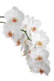 Orkidér för vita blommor Royaltyfri Bild