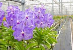 Orkidér i ett växthus Arkivbild