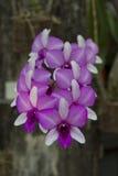 Orkidér i natur ser dess bästa. Fotografering för Bildbyråer