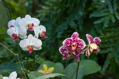 Orkidér i tropiska villkor Royaltyfria Foton