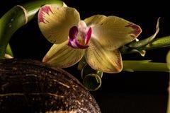 Orkidér med coccnut Royaltyfri Bild