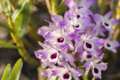 Orkidér med vita och purpurfärgade kronblad royaltyfria foton