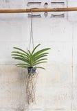 Orkidér som är fullvuxna i plast- krukor som hänger på väggarna Royaltyfri Foto