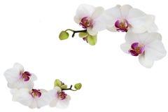 Orkidér som isoleras på vit Arkivfoto