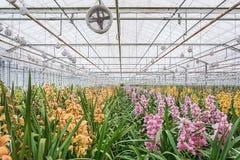Orkidér som växer i ett växthus Arkivfoto