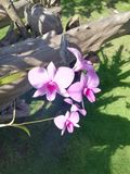 Orkidér som växer på ett drivaträ, rotar i tropisk trädgård arkivbilder