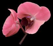 Orkidérosa färgblomma Isolerat på svart bakgrund med den snabba banan closeup Filialen av orkidér Royaltyfri Foto