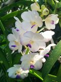 Orkidéskönhet 8 Arkivfoto