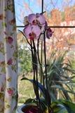 Orkidéväxt med rosa blommor Royaltyfria Bilder