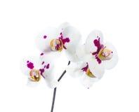 Orkidévit med lila fläckar som isoleras på viten Fotografering för Bildbyråer