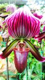 orkid Imagens de Stock