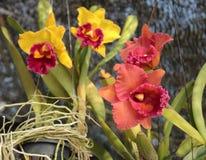 Orkid blomma Fotografering för Bildbyråer