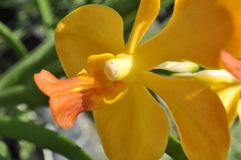 Orkid jaune Image libre de droits