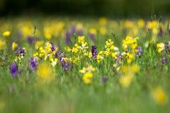 Orkidér och gullvivor Arkivfoto
