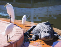 ORLANDO FL- January 23, 2014 - Gatorland Theme Park in Orlando Florida Royalty Free Stock Image
