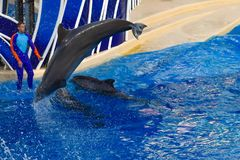 Dolphin jumping in colorful Dolphin Day show; It is a festive celebration of our natural world at Seaworld in International Drive stock photos