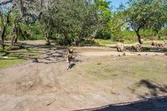 Kilimanjaro Safaris at Animal Kingdom at Walt Disney World. Orlando, Florida: December 1, 2017:  Kilimanjaro Safaris at Animal Kingdom at Walt Disney World.  The Stock Photos