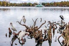 ORLANDO, FLORIDA, EUA - EM DEZEMBRO DE 2018: Albus branco de Eudocimus dos ?bis, parque de Eola do lago fotografia de stock royalty free