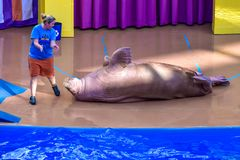 Walrus rolling on the floor, guided by coach at Seaworld. Orlando, Florida. January 01, 2019 . Walrus rolling on the floor, guided by coach at Seaworld royalty free stock photo