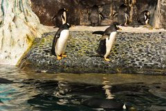 Emperor Penguin and friend close to the cold lagoon at Seaworld. royalty free stock image
