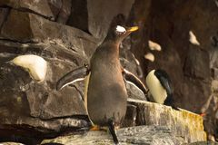 Emperor Penguin unfolding the wings at Seaworld. In this attraction, guest can see five spec stock photography