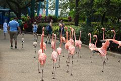Girls taking pictures of flamingos walking among people in Seaworld Theme Park. royalty free stock images