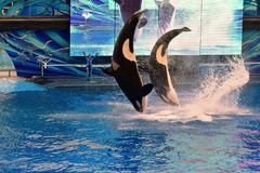 Two whales jumping in One Ocean SeaWorld`s signature killer whale. stock photo