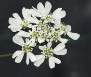 Orlaya blomma Royaltyfri Fotografi