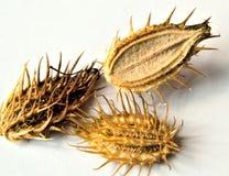 Orlaya frö Fotografering för Bildbyråer