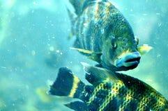 Orli dei pesci Fotografia Stock Libera da Diritti
