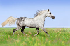 Orlov horse trotting Royalty Free Stock Image