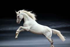 Orlov stallion Stock Images