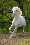 Orlov stallion royalty free stock photos