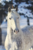 Orlov trotter. Stallion in winter Stock Photo