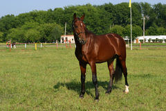 Orlov trotter. Standing in grass Stock Photo
